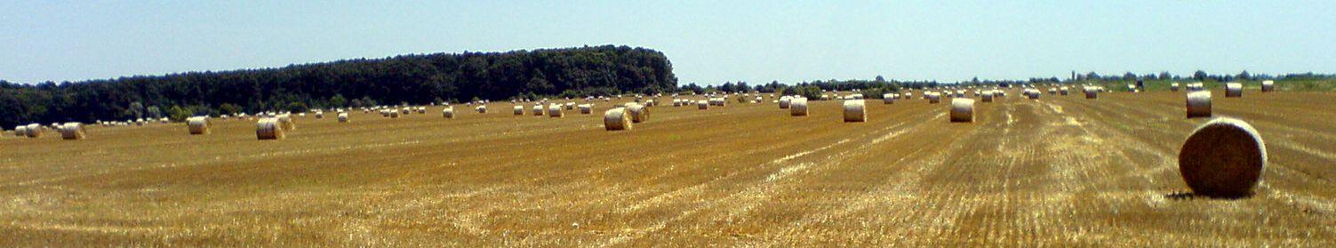 Slavonia Cornfield
